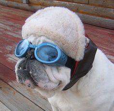 Get your motor running. Born to be wild. Bulldog Meme, Bulldog Quotes, Bulldog Puppies, Baby Animals, Cute Animals, Animal Babies, Aviator Hat, Funny Hats, British Bulldog