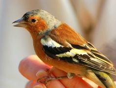 She charms them from the trees. Birds Pics, Bird Pictures, Chaffinch, Kinds Of Birds, Small Birds, Robins, Orange, Yellow, Beautiful Birds