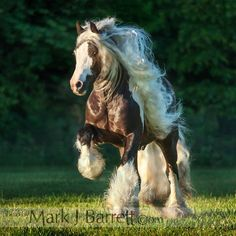 Gypsy Vanner Horse - Stallion - Click the picture to see outstanding pictures of some amazing horses. Beautiful!