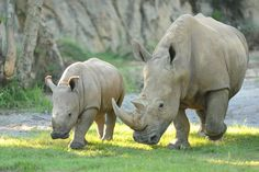 Wildlife Wednesdays: Fun Facts Shared on Rhino Day at Disney's Animal Kingdom