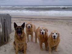 Pack happiness- gsd keeping 'em in line :)