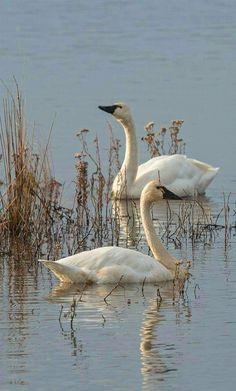 Beautiful Swan, Beautiful Birds, Animals Beautiful, Cute Animals, All Birds, Love Birds, Swans, Trumpeter Swan, Swan Lake