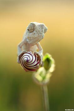 ~ Albino Chameleon on Flower Bud ~