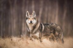wilczak czechosłowacki