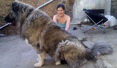 """""""Kafkas Dağ Köpeği"""" yeryüzünün en eski köpek ırklarından biridir."""