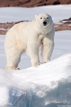 Polar Bear, North Spitsbergen - Svalbard