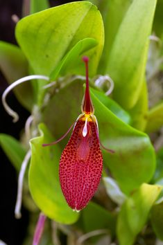 Restrepia Contorta - From Venezuela, Colombia, Peru and Ecuador in cloud forests as a small sized