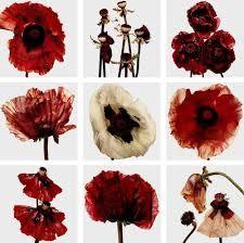 Irving Penn - Flowers, 1969 (poppies, sacred to Demeter) Exotic Flowers, Beautiful Flowers, Flora Flowers, Poppy Flowers, Red Poppies, Cut Flowers, Dried Flowers, Irving Penn Flowers, No Rain