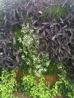 Wandering jew on a vertical wall
