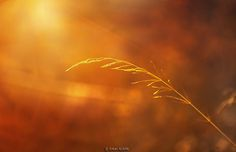 wild oats by Erkan ALKAN on 500px