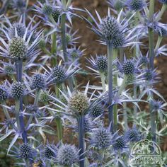 Eryngium bourgatii    Mediterranean Sea Holly  USDA Zone: 4-9  Plant number: 1.205.130    Native to areas around the Mediterranean, this Sea Holly is a good choice for dry and sunny parts of the garden. It forms a low mound of unusual thistly-looking dark green leaves, heavily veined in silver. Taller stems appear in summer, holding branching heads of prickly blue flowers that are good for cutting or drying. Midsized, perfect for the border or in mixed containers.