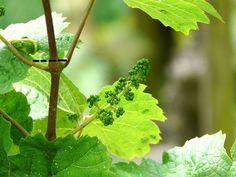 Sommarbeskärning av vinranka Flower Garden, Herbs, Plants, Garden, Tree, Plant Leaves, Trees To Plant, Flowers, Garden Plants