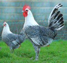Campine Chickens - Search