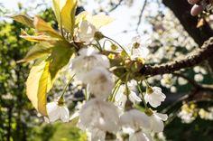 kirschbluete, johannisbeeren, stachelbeeren, brombeeren, Pflanzen, Bluetezeit, Lavendel, Schnittlauch, Minze, Rosmarin, Bärlauch, Alium, kraeuter, kraeutergarten, Salbei, nussbaum, walnussbaum, walnuss, bauernhaus, landhaus. www.welle8.com #Kirschbluete #Kirschbaum