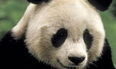 Giant Panda_Endangered Species