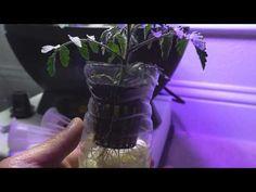 Water Bottle Kratky Hydroponic for Tomato - YouTube