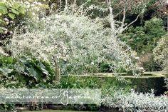 Bepflanzung mediterraner Garten - winterharte Gehölze  Pyrus salicifolia pendula - die weidenblättrige Birne