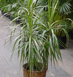 Dracena (Dracaena marginata)  Possui folhas finas com bordas vermelhas e é famosa por ser uma planta de crescimento lento e floração com poucas exigências. É capaz de filtrar toxinas presentes no ar e remover formaldeído e benzeno. Ela pode ser tóxica para os cachorros;