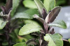 Wondering how to grow sage? Planting sage is easy, but make sure you choose an edible types for use in the kitchen. Take a look at how to grow sage in gardens in this article.