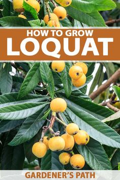 Learn how to grow loquat trees, an Asian import that offers a tropical flair and bears a colorful sweet-sour fruit that you won't find in grocery stores. Fruit Garden, Garden Trees, Edible Garden, Easy Garden, Bonsai Garden, Organic Gardening, Gardening Tips, Vegetable Gardening, Container Gardening