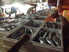 EPIRUS TV NEWS: Η μεγαλύτερη ψαριά στο Ιόνιο!40 τόνοι παλαμίδια!!