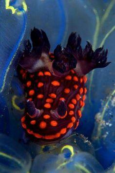 Nembrotha yonowae, colourful sea slug, a dorid nudibranch, a marine gastropod mollusk in the family Polyceridae, western Indo-Pacific Ocean by steve de neef Under The Water, Life Under The Sea, Underwater Creatures, Underwater Life, Beautiful Sea Creatures, Animals Beautiful, Salt Water Fish, Sea Slug, Wale