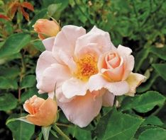 Folksinger  1984  A Griffith Buck rose of exceptional cold hardiness, this rose also has fragrance, repeat bloom and disease resistance.  The showy yellow/peach colored double flowers are numerous on a four foot, compact shrub.  4 to 5 feet Z4-9 R Fr ab