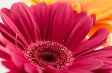 About Gerbera Daisies