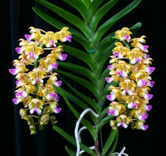 f 1872 Most Beautiful Flowers, Exotic Flowers, Orange Flowers, Love Flowers, Orchid Plants, All Plants, Garden Plants, Orquideas Cymbidium, Plante Carnivore