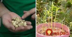 Kupujte drahé pistácie? Takto jednoducho ich môžete pestovať aj doma, z pistácie z obchodu! Garden Plants, Indoor Plants, Modern Food, Edible Garden, Gardening Tips, Orchids, Diy And Crafts, Flowers, Cement