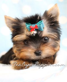 I think I'll be getting a teacup yorkie but not until after I retire so I can keep it with me and not have to leave it at home alone.. aren't they precious and sweet?