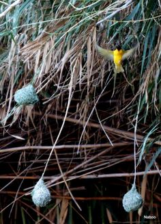 Weaver bird and nests at Neuras