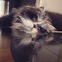Atchoum the new cat star