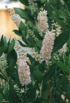 Clethra alnifolia ~Rosea~ (01) Bloomleaf