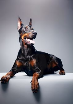Fantastic #doberman #breed
