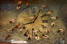 Ducks on the river Ter in clock by arbitodomenech