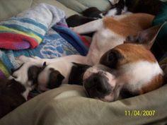 Boston Terrier. She had them!