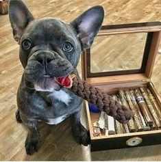 Cigars and puppies Good Cigars, Cigars And Whiskey, Cute Puppies, Cute Dogs, Bulldogs, Cigar Shops, Cigar Art, Premium Cigars, Cigar Cases