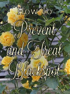 best practice for eliminating blackspot from your garden, and keeping your roses healthy and beautiful.the best practice for eliminating blackspot from your garden, and keeping your roses healthy and beautiful. Garden Care, Best Practice, Comment Planter Des Roses, Pruning Roses, Rose Care, Gardening For Beginners, Gardening Tips, Organic Gardening, Vegetable Gardening