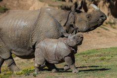 Two horns up! 9-week old greater one-horned rhino calf and his proud mom!