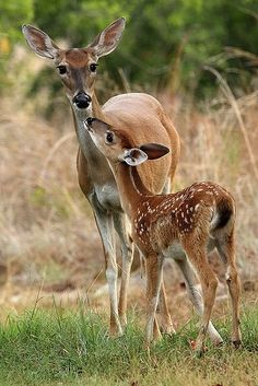 Roe deer & fawn - Natur - Tiere - Animal world Deer Photos, Deer Pictures, Animal Pictures, Nature Animals, Animals And Pets, Wild Animals, Beautiful Creatures, Animals Beautiful, Roe Deer