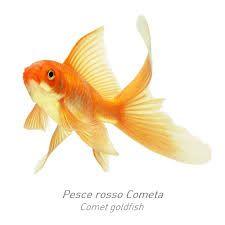 Risultati immagini per immagini di pesci rossi