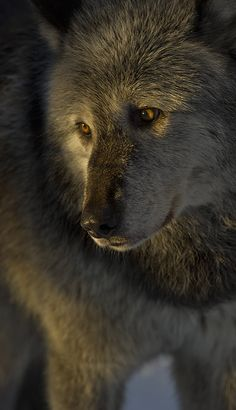 Wolf-39 | Flickr - Photo Sharing!