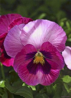 Pink pansy everything pink pansy and a splash of lilly pink pansy im lookin at you mightylinksfo