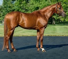 Thoroughbred stallion, Drosselmeyer. Winner of the 2010 Belmont Stakes and the 2011 Breeder's Cup Classic.