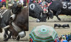 It's the moo-FC: Swiss cows battling to be crowned 'Queen of Queens'