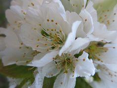 Kirschblüten <3 . Canon Ixus.