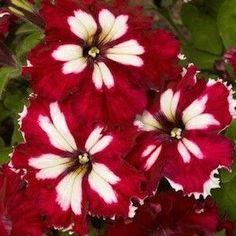 Can Can Harlequin Burgundy petunia seeds Garden Seeds Annual Flower Seeds