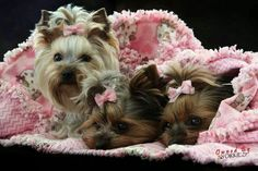 Owned by Yorkies. Having a lazy day Little Dogs, Yorkshire Terrier, Pet Accessories, Cute Baby Animals, Small Dogs, Cute Puppies, Best Dogs, Cute Babies, Yorkies