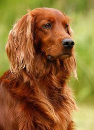 Celtic Dog Names: For Irish Setters, Wolfhounds Or Any Breed